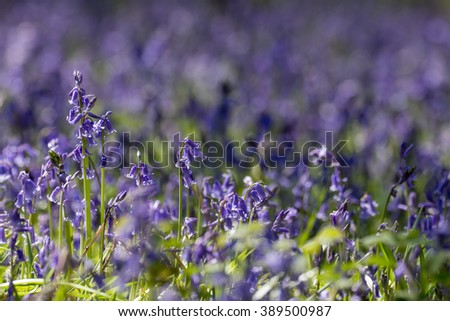 Blanket of Common Bluebells (Hyacinthoides non-scripta) in springtime.