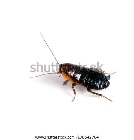 Blatta orientalis. Common black cockroach, pest,  macro on white. - stock photo