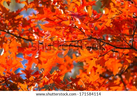 Blazing Maple. Red maple tree leaves on a sunny October day. Merry days of Indian summer. - stock photo