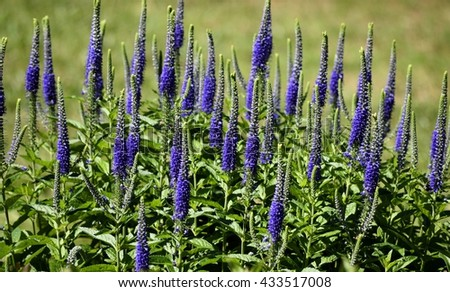 Blazing Star plant flowers in a garden at Georgia, USA. - stock photo