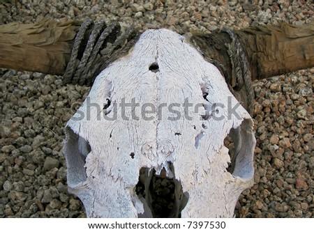 bleached steer skull in phoenix, az - stock photo