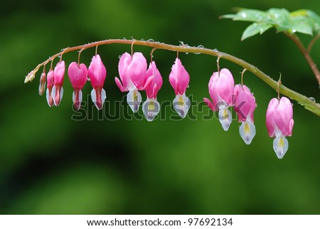Bleeding Heart blossoms, close up. - stock photo