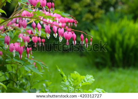 Bleeding heart flower (Dicentra Spectabils) lyre flower love heart on green blured background