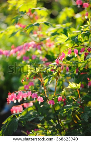 Bleeding heart flowers - pink in bright spring sun - stock photo