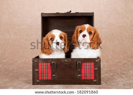 Blenheim Cavalier King Charles Spaniel puppies sitting inside red tartan wooden chest trunk on beige background  - stock photo