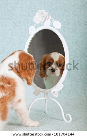 Blenheim Cavalier King Charles Spaniel puppy looking at itself in ornate mirror on light blue green background