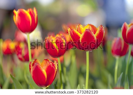 blight tulips. blooming tulips. beautiful tulips. red yellow petal tulips. flower background