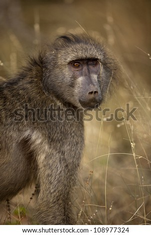 Blind Baboon giving the stare