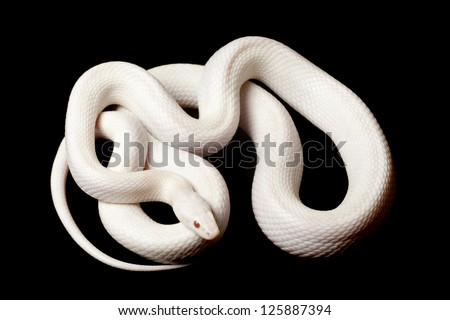 Blizzard corn snake (Elaphe guttata guttata) isolated on black background.