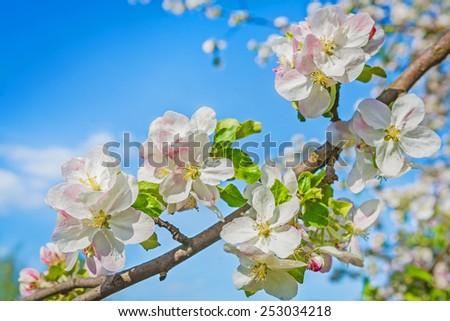 bllosom of appl tree on sky instagram stile instagram stile  - stock photo