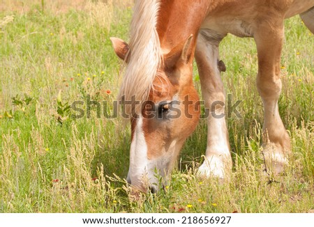 Blond Belgian draft horse grazing in pasture