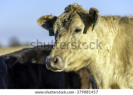 Blond cow looking to the left with other cows in the background and blue sky