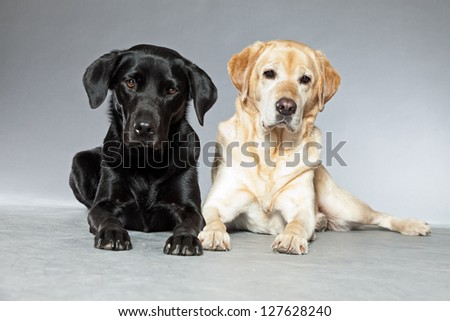 Blonde and black labrador retriever dog together. Studio shot. - stock photo