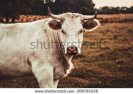 Blonde d'Aquitaine cow in the meadow  - stock photo