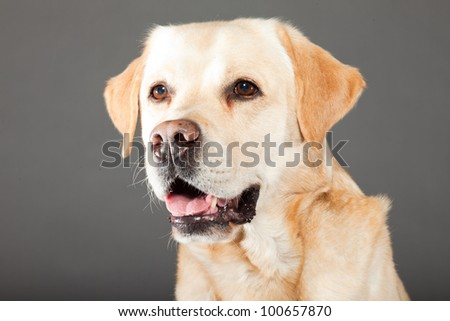 Blonde labrador dog isolated on grey background. Studio shot. Portrait of a cute pet.