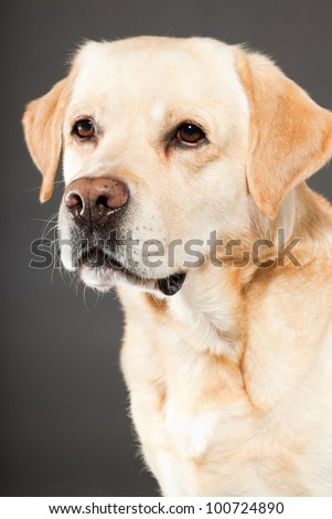 Blonde labrador dog isolated on grey background. Studio shot. Portrait of a cute pet. - stock photo