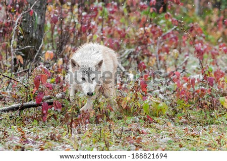 Blonde Wolf (Canis lupus) Runs Through Sumac - captive animal