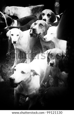 Blood hounds ready for the hunt - stock photo