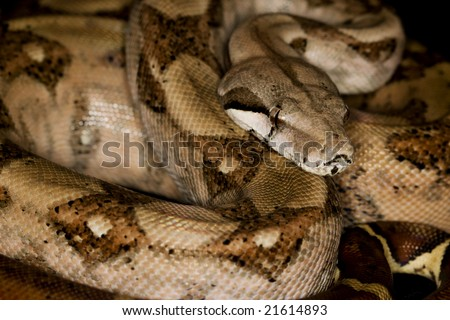 Blood Red-tailed Boa (B. c. constrictor) - stock photo