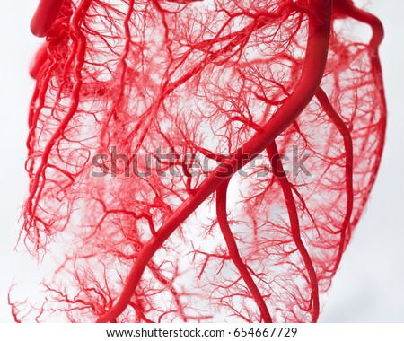 Blood Vessel System Heart Stock Photo Royalty Free 654667729