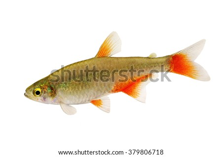 Bloodfin tetra Aphyocharax anisitsi tropical aquarium fish isolated on white