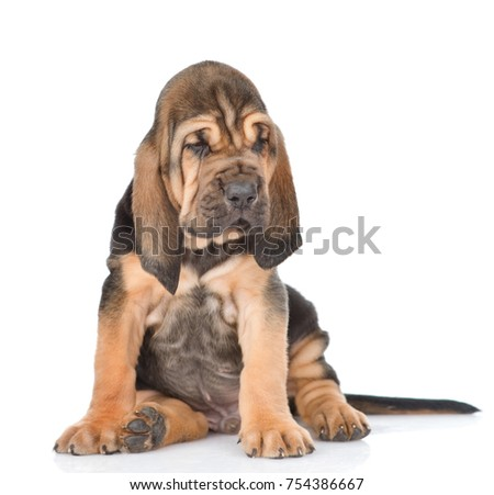 Bloodhound puppy looking away. isolated on white background