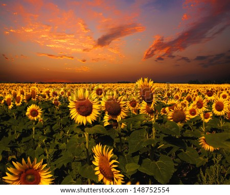 Bloody skies, Dramatic landscape with sunflowers field - stock photo