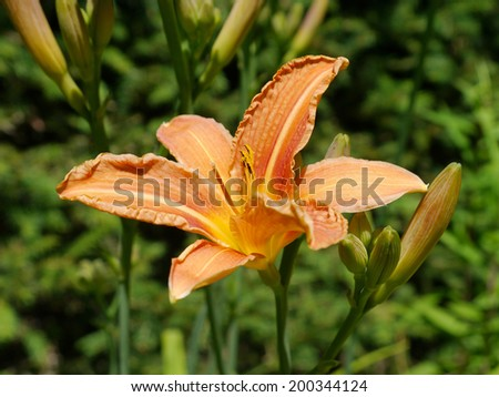 Bloom and buds from a daylily - stock photo