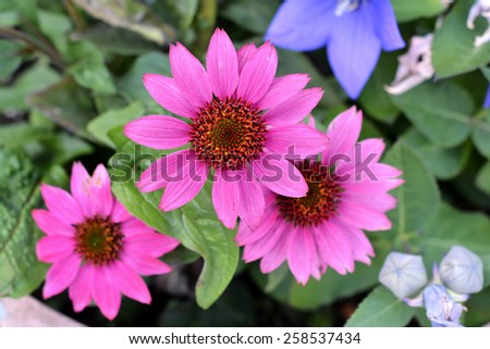 Bloom of a coneflower in pink in summer - stock photo