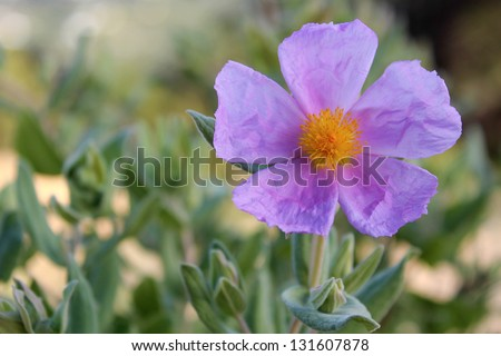 Bloom of Cistus albidus (Rock rose, Sun rose). A small shrubs of woodland regions of southern Europe and North Africa; grown for their showy flowers and soft often downy and aromatic evergreen foliage - stock photo