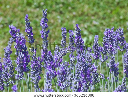 Bloom of Fragrant Lilac Lavender Flowers - stock photo
