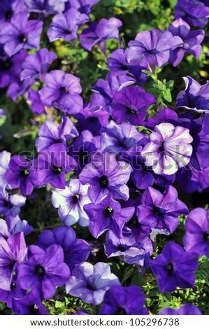 Bloom Purple petunia - stock photo