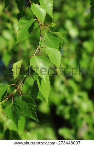 bloom spring birch trees background