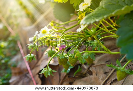bloom strawberry flowers with dew on green leaves in the garden  - stock photo
