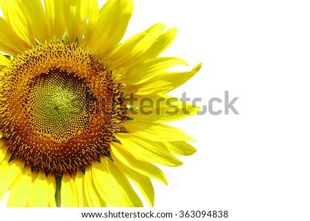 Bloom Sunflower Isolated On White Background - stock photo