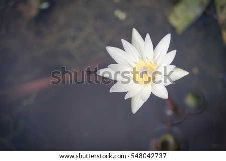 bloom white lotus with yellow pollen
