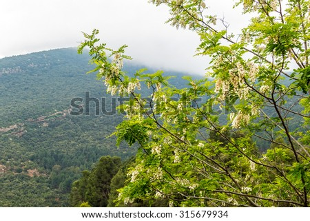 Blooming acacia in High Atlas mountains, Morocco (between Marrakesh and Tizi-n-Tichka pass)