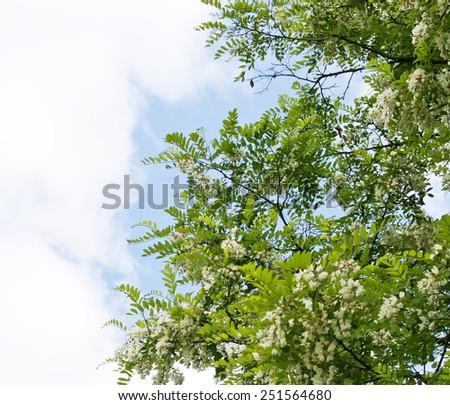 Blooming acacia tree - stock photo