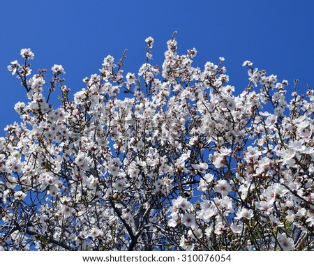 Blooming almond tree against blue sky.