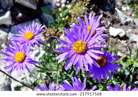 Blooming Alpine aster (Aster Alpinus) - stock photo