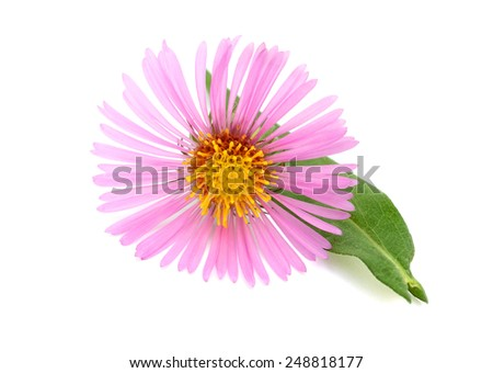Blooming Alpine asters (Aster Alpinus)  of New England Asters, Aster family
