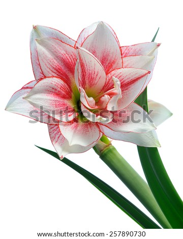 blooming amaryllis macro isolated on white background - stock photo