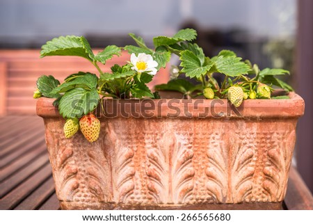 Blooming and green strawberries potted in vintage terracotta planter - stock photo