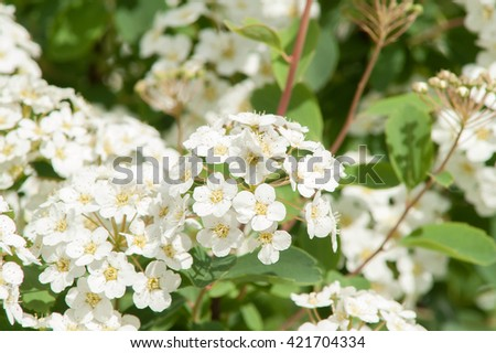 blooming and smelling bush with white flowers