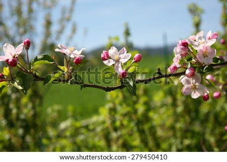 Blooming apple branch - stock photo