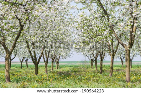 blooming apple orchard in spring