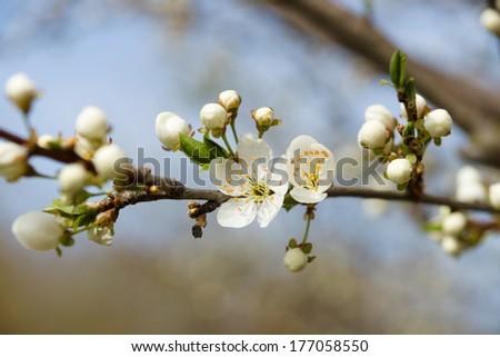 Blooming apple tree. - stock photo