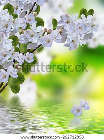 blooming apple tree - stock photo