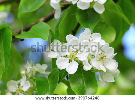 Blooming apple tree; beautiful white blossoms. - stock photo
