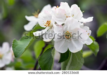 Blooming apple tree; beautiful white blossoms, shallow field - stock photo